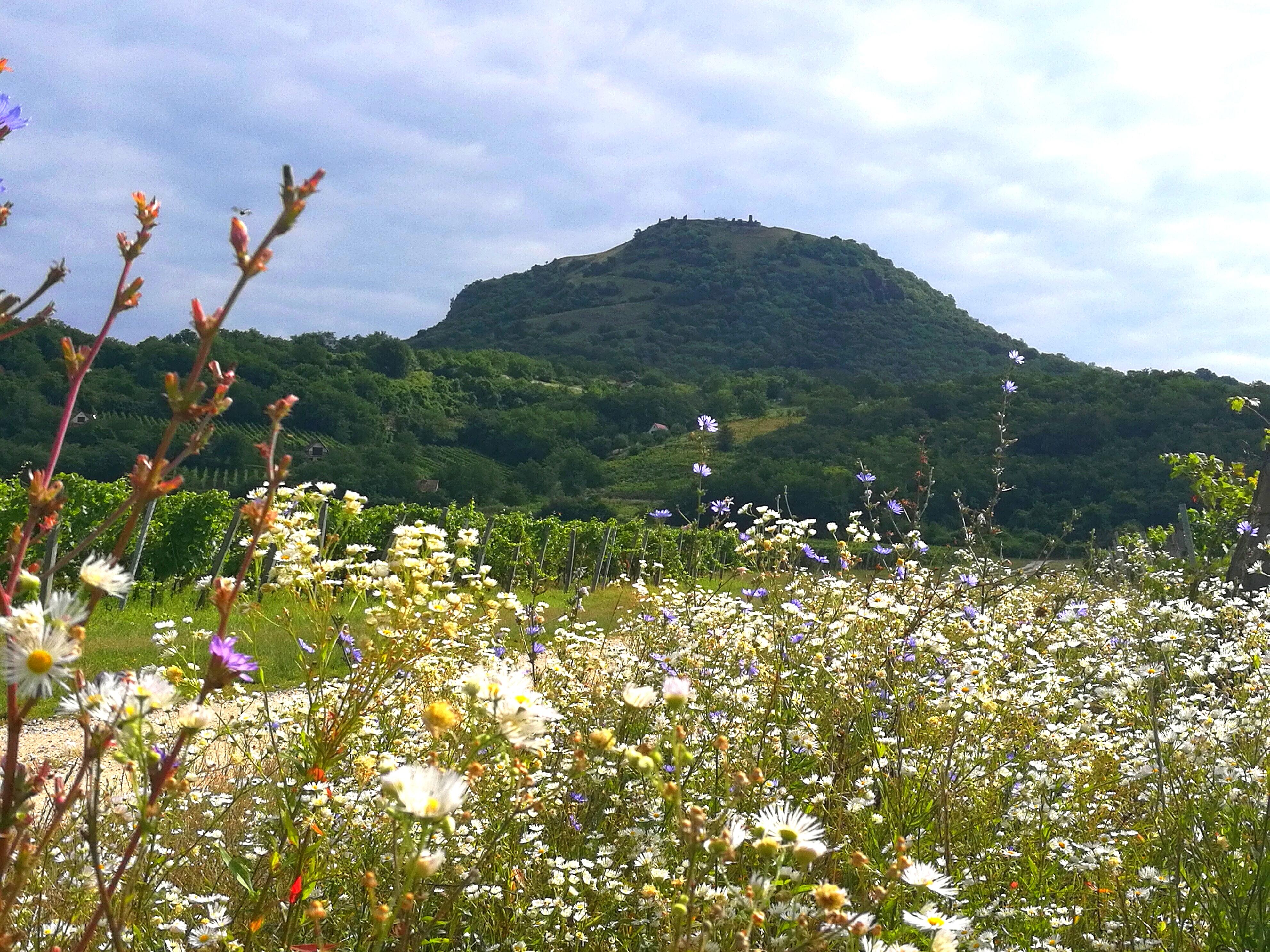 A Csobánc hegy lábánál (Olvasói fotó: Krizsán-Csorba Krisztina)
