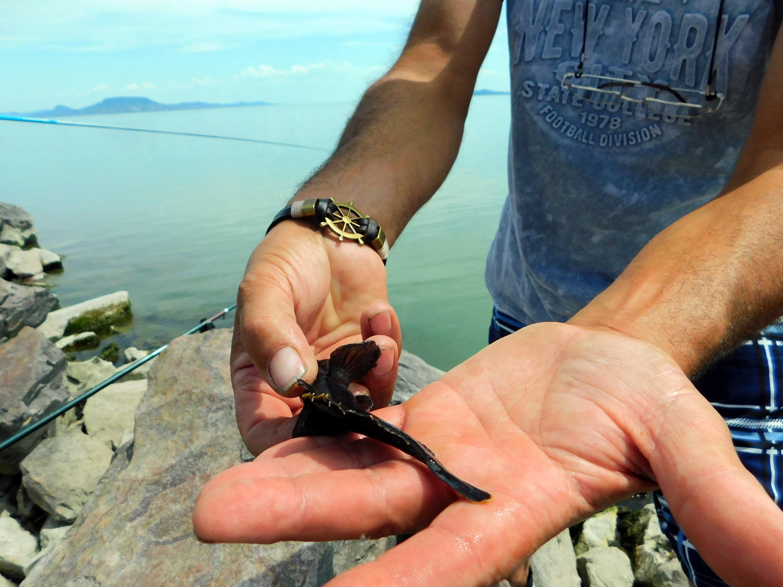 A fekete színűre változott folyami géb sárga úszóvégei (Fotó: Kisbán Kázmér)